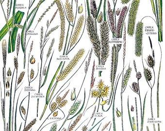 Wood Sedge, Yellow Sedge, Hairy Sedge - 1965 British Flowers Vintage Book Plate P95