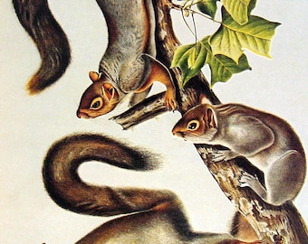 Eastern Gray Squirrel 1976 Vintage Audubon Animal Print Book Plate