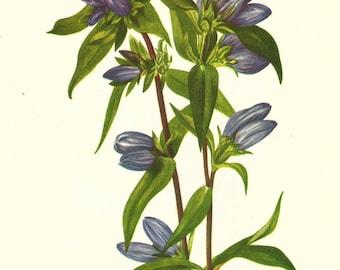 Flower Print - Soapwort - Vintage Wild Flower Print - Botanical Book Print - Wild Flowers of America - Ruff Gentian - Mary Vaux Walcott