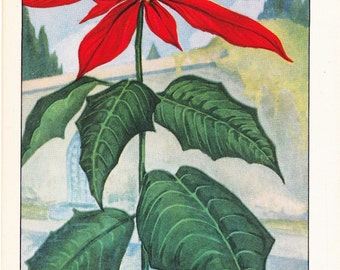 1926 Flower Print - Poinsettia - Vintage Home Decor Botany Art Illustration for Nature Science Woman Great for Framing