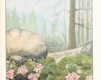 1926 Flower Print - Trailing Arbutus - Vintage Home Decor Botany Art Illustration for Nature Science Woman Great for Framing
