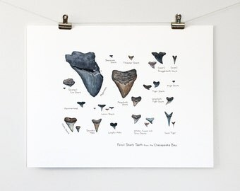 Illustrated Fossil Shark Teeth - Natural History Watercolor Art Print