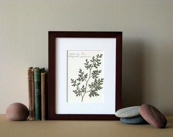Pressed fern print, 8 x 10 matted, Arborvitae fern, woodland fern art, no. 024