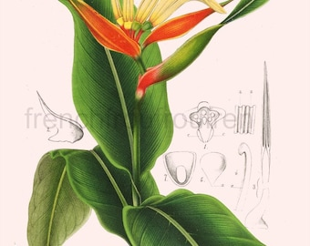 antique french botanical illustration heliconia mexico tropical flowers digital download