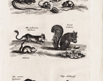 1657 Antique RODENT print by Merian, squirrel, mouse, mice, mole,  handmade paper, original antique print 356 years old