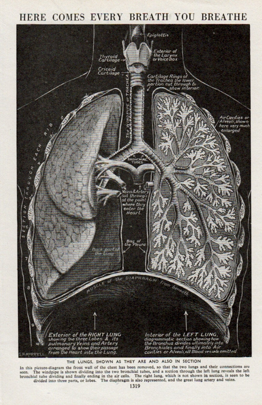 Anatomy Of Lungs Print Medical Diagram Of By Thestoryofvintage