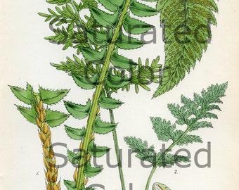 Antique Fern Print Original 1866 Hand Colored - Spring Green Fern Frond - Vintage - Victorian Botanical - Gardening -Plate 7