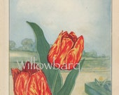 Tulip. 1926 country cottage garden old fashioned botanical color lithograph print
