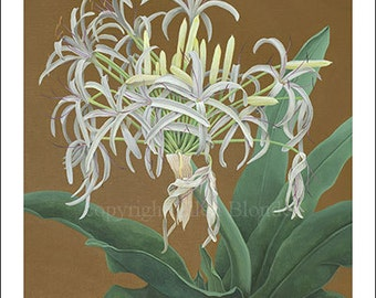Spider Lily, Small Giclee Print