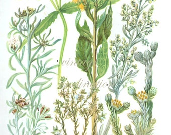 HERBS YELLOW WORMWOOD Vintage Botanical Print Antique, plant print 33 botanical print, bookplate art print, herb plants plant wall print