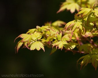 Japanese Maple in spring, chartreuse leaves on black, botanical print, Nature Photography