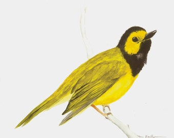 Bird Hooded Warbler Archival Print of Original Watercolor 5x7 Yellow Black Gray Home Office Decor Nature