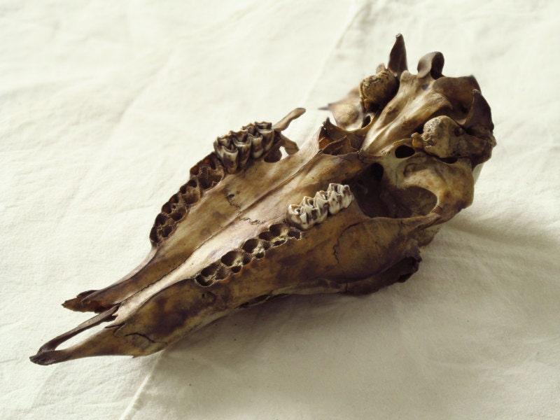 Crâne de cerf. Crâne de biche de cerf de Virginie Réf. 308