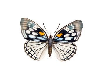 Butterfly Art - High Resolution Digital Download No.1532