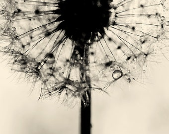dandelion photography - dandelion art - dandelion  print- black and white flower fine art print - nature photography - home decor wall decor