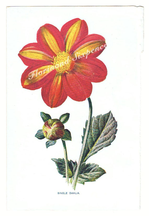 Botanical Print Dahlia Flower Antique 1890s Original Book Plate Hulmes Familiar Garden Flowers by Shirley Hibberd Botanical Print Dahlia Flower Antique 1890s Original Book Plate Hulmes Familiar Garden Flowers by Shirley Hibberd 🔎zoom Item Details       (74)   Shipping & Policies Original antique book plate of botanical illustration of a single dahlia flower by artist F. Edward Hulme from the book 'Familiar Garden Flowers' by Shirley Hibberd published by Cassell & Co dated to approx 1890's. This is an original book plate printed using a chromo lithograph technique. It has been carefully removed from the book, showing the raw edge from the centre of the book.  There are a few companies now producing reproductions of these illustrations as giclee prints, this listing is for an original print.  THIS LISTING, COSTS AND SHIPPING ARE FOR AN UNFRAMED PRINT.   Paper size: 17.6 x 12.6cm.  This pretty print would look great in a simple decorative frame as shown in photo. New listings to look out for print sets with a discount for buying 2 flower prints, 3 flower prints or 4 flower prints. Look in Books and Prints section  https://www.etsy.com/shop/Florinandsixpence?section_id=15891324&ref=shopsection_leftnav_7  Please do have a look at the rest of our Florin and Sixpence shop at https://www.etsy.com/shop/Florinandsixpence?ref=hdr_shop_menu we may have other items of interest to you and will happily bundle items when they make the postage cheaper for you. This isn't always the case if the bundle exceeds 2kg. Meet the owner of Florinandsixpence. Learn more about the shop and process.   Gail Hoban Botanical Print Dahlia Flower Antique 1890s Original Book Plate