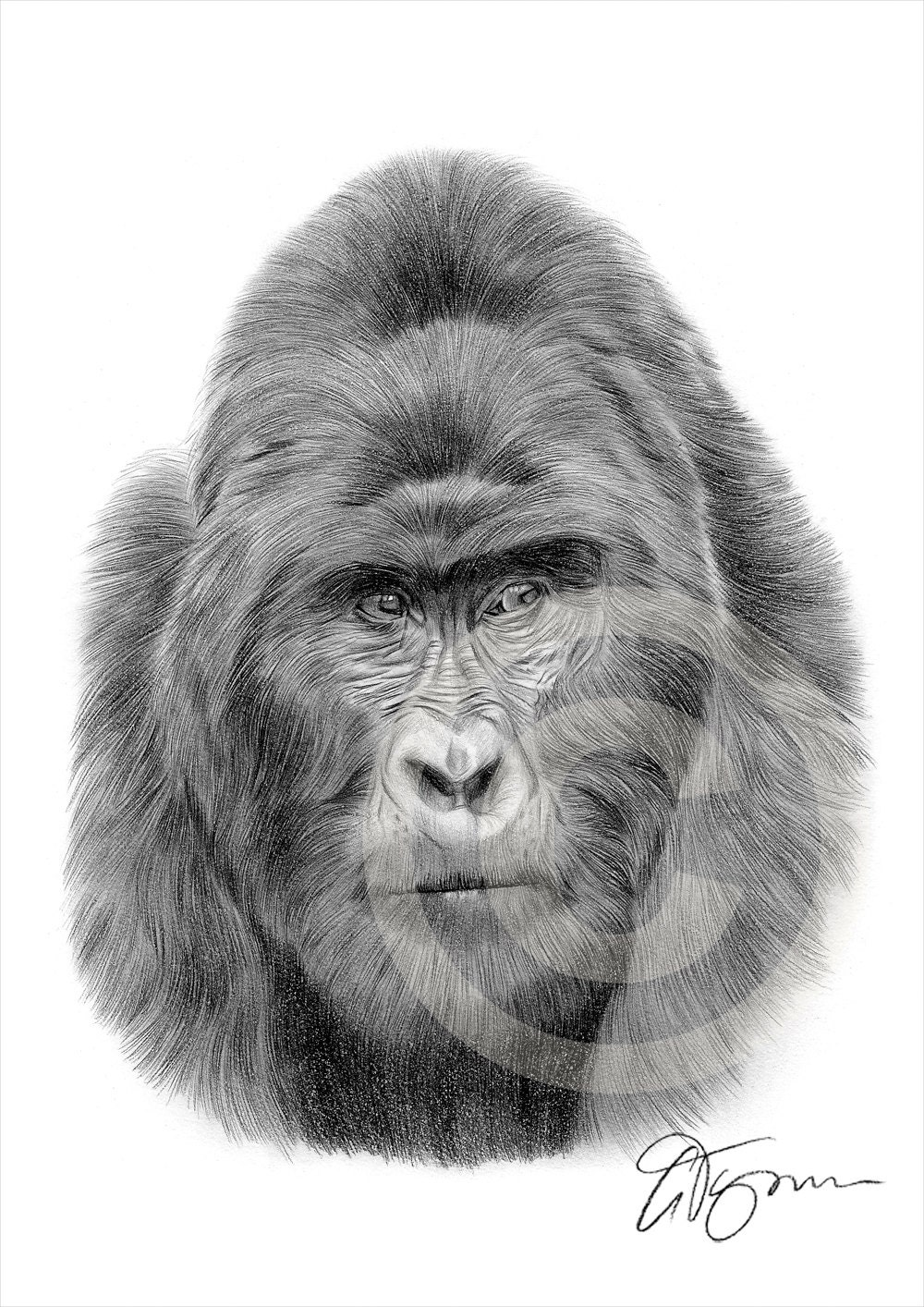 african mountain gorilla pencil drawing print a4 size