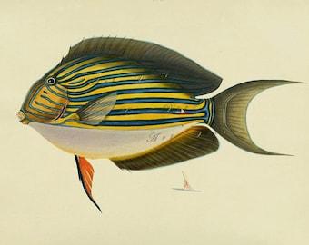 antique fish print, printable beach cottage home decor no. 1776