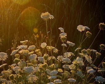nature photography queen annes lace morning sunrise fine art home decor office decor