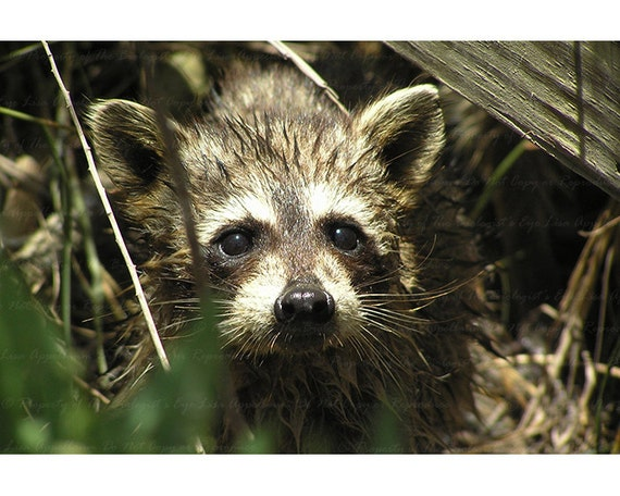 Curious Wet Baby Raccoon 4 x 6 inch Postcard - Masked Bandit of Louisiana Swampland