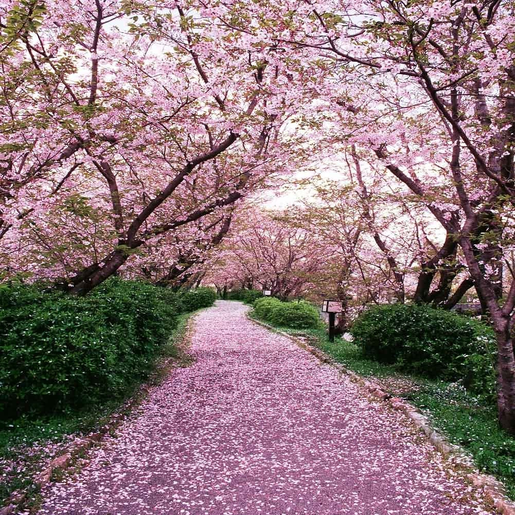 Sakura Tree Road 10ft X 10ft Backdrop Computer Printed