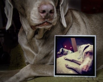 Weimaraner Reflection Greeting Card - Blank