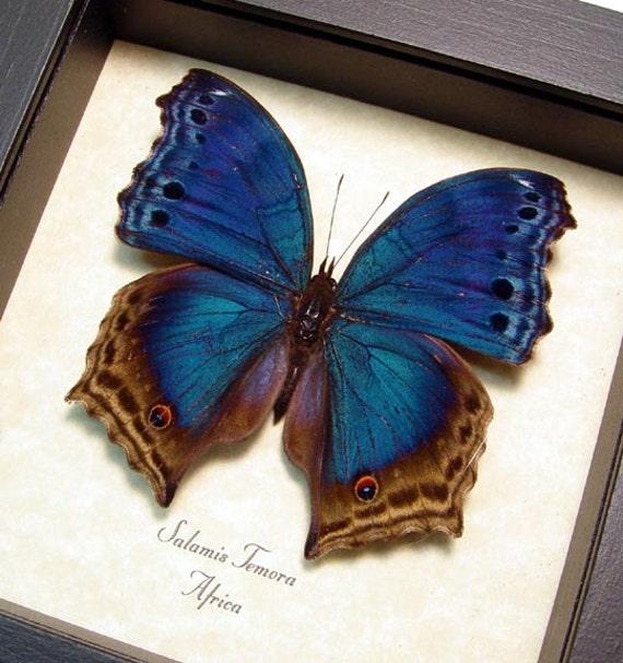 Real Framed Blue Velvet Butterfly Conservation Shadowbox Display 453