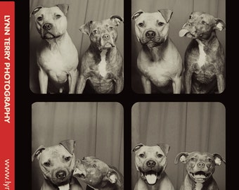 Pit Bulls in Photo Booth #2 - 16x20 Lustre Print
