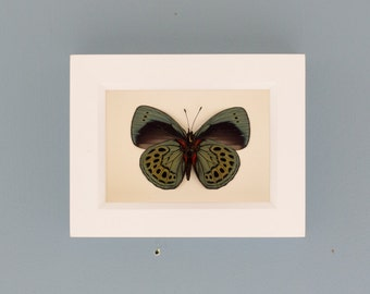Framed Butterfly Charles Darwin Insect Shadowbox Display White Frame