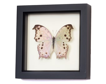 Real Framed Butterflies Mother of Pearl Butterfly Display