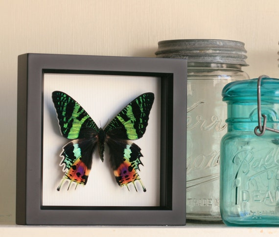 Framed Sunset Moth Shadowbox Art Frame 1329