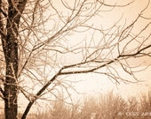 Winter Tree In Sepia  -  Tree Branch Photographic Print  - Botanical Nature - Landscape Photo
