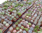 RESERVED, 200 Succulents, Favors, Great QualITY, Ship April 23