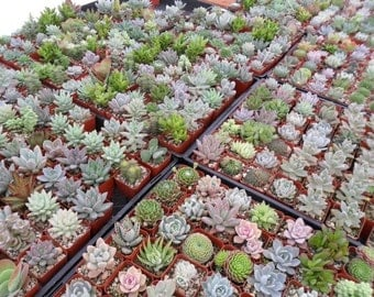 100 Succulents, Favors, Wedding Favor, Party Gift, Lots Of Rosettes, Great Quality