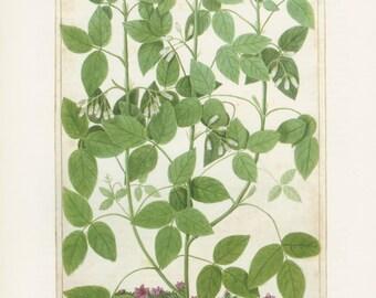 Bladdernut, Snowdown Cushion, Plate 20, 1703 Botanical Painting,1983 Vintage Flower Print