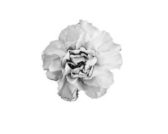 Black & White Carnation. 8x10. Fine Art Photographic Print. Minimal simple style. Natural Home Decor. Indoor garden botanical