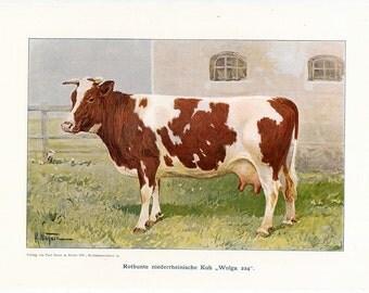 1925 COW CATTLE BOVINE ox original vintage animal print - brown & white cow