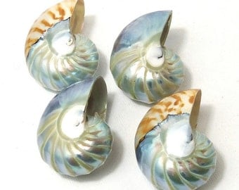 Nautilus Shell, Tail of Mermaid, Whole Shell Focal Bead, Pendant, Drilled, Natural, 30x38mm or 35x45mm Large, Big, 1pc - ID 1893