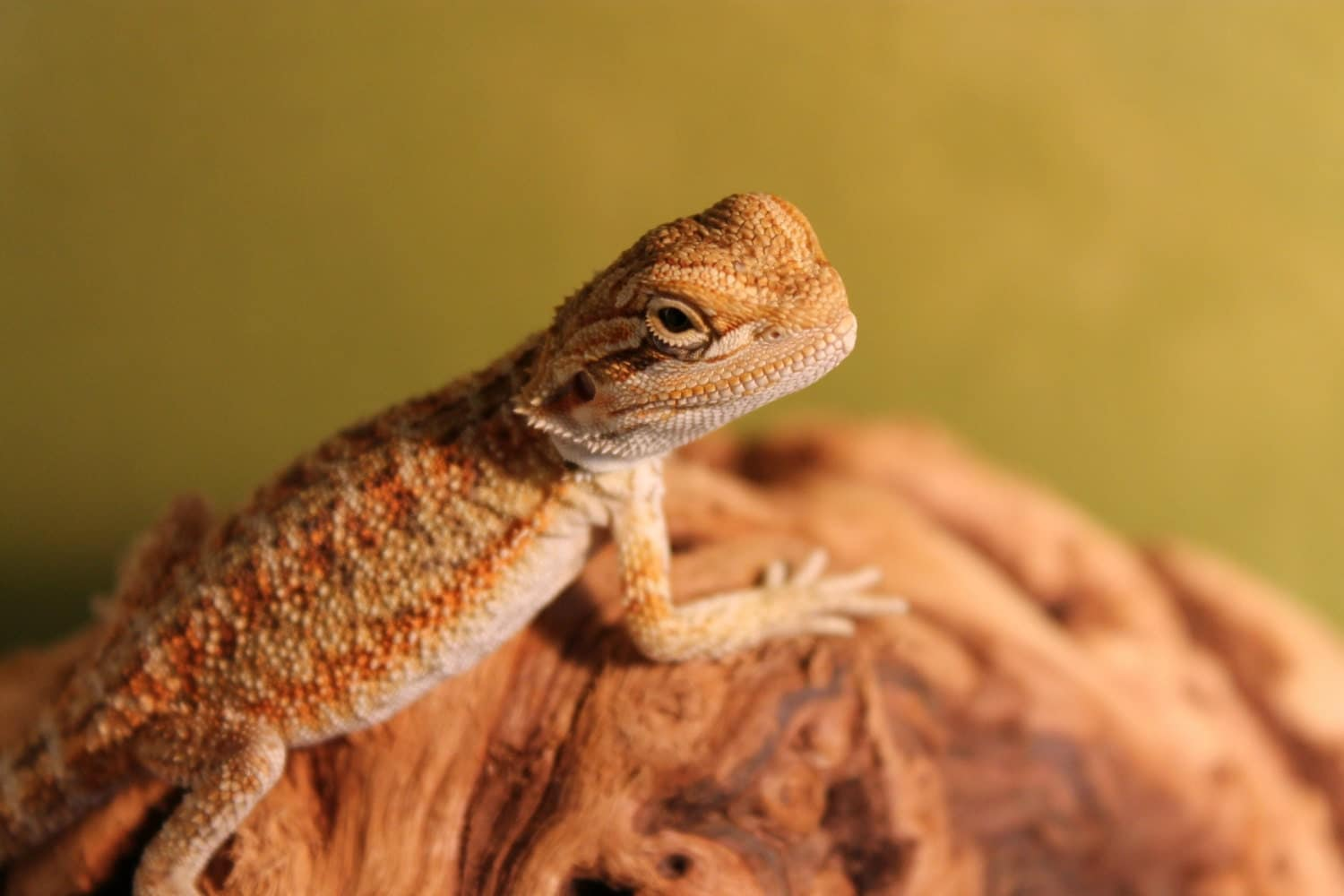 Lime Green Bearded Dragon Baby Bearded d Lime Green