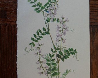 "Original 1968 Wildflower Gems, 4 1/2"" by 7 1/2"" Small Rectangular Art Print WOOD VETCH Bean Family Versatile Size Lovely Matte Cream Paper"