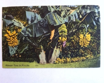 Vintage postcard of yellow banana tree in Florida
