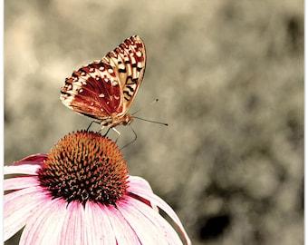Photograph, butterfly, cone flower, washington state, Le papillon et la fleur, 8x10