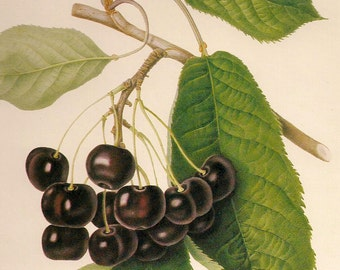 Vintage Botanical Fruit Print- Black Cherry- Antique Fine Art- 9 x 12 inch- Paper Ephemera
