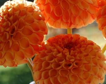 Orange Dahlia Flower Photography Photo Card Fine Art Photography Flower Greeting Card