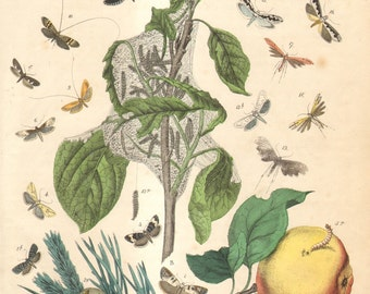 1863 Antique Hand Coloured Copper-plate Engraving of Tortrix Moths, Tineoid Moths, Plume Moths, Incurvariidae and Ermine Moths