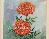 Marigold. 1926 country cottage garden old fashioned botanical color lithograph print