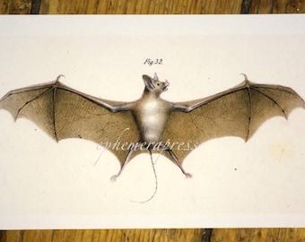 bat by fitzinger glorious creepy nature print no. 2
