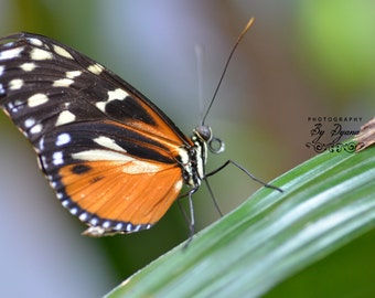 Beautiful Butterfly Photo or Notecards