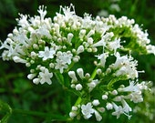 Valerian Seeds - Valeriana officinalis -- Medicinal Herb