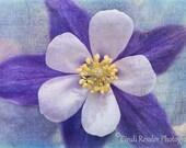 Columbine, Fine Art Photography, Flower Photography, Nature Photography, Botanical Photography